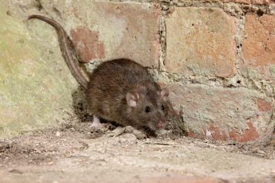 Mice and Rat Treatment