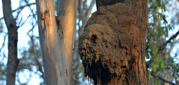 Termite Tree Treatments